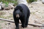 Niedźwiedź czarny, baribal, niedźwiedź amerykański