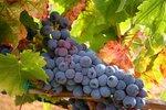 Lotaryngia winami kusząca